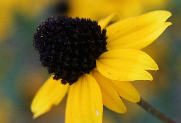 ルドベキアタカオの花の中もこもこ 1 8 16