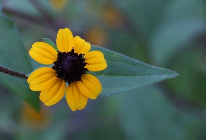 今から咲く小さい花も ルドベキア 1 8 16