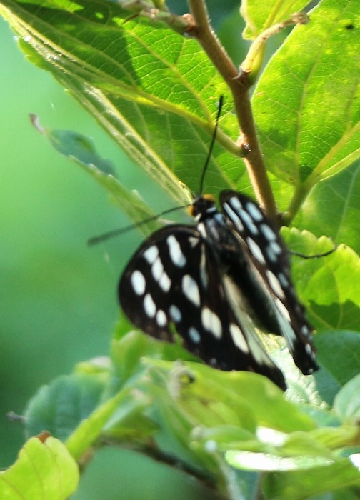 黒と白の蝶 爺神山 1 8 21
