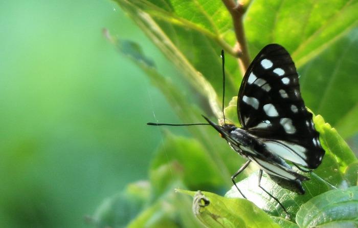 よく分からないけど白と黒の蝶 1 8 21