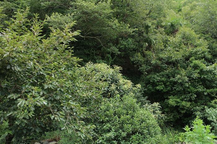 山の畑の柿の木 1 8 21
