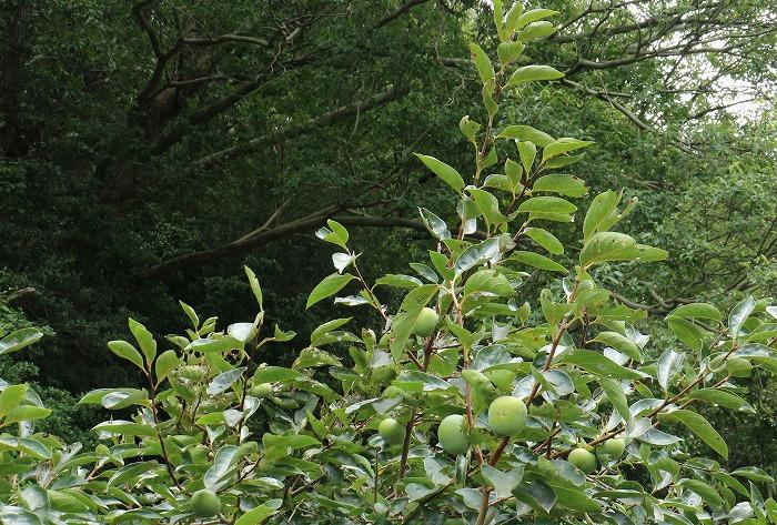 畑の緑の柿の実 1 8 21