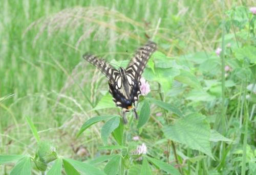 蝶羽ばたき
