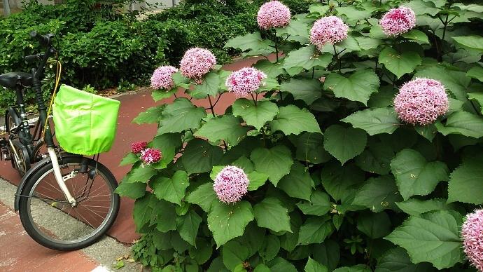 190702紫陽花 (1)