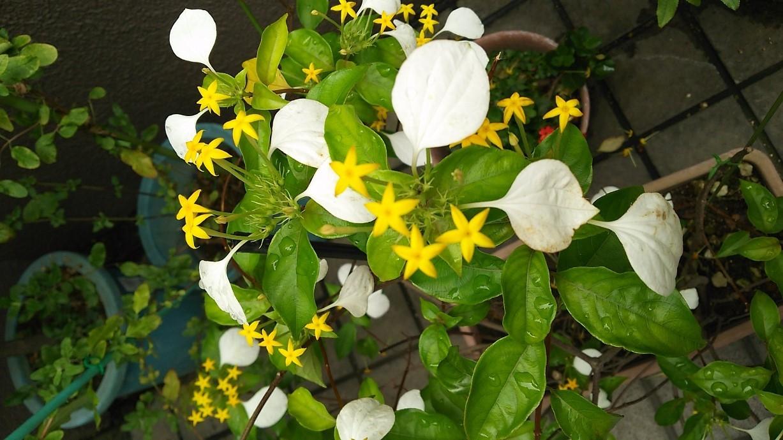 黄白花 (2)