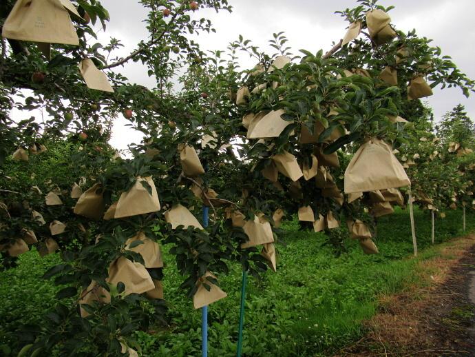 190705リンゴ