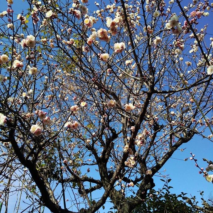 200212梅桜 (1)