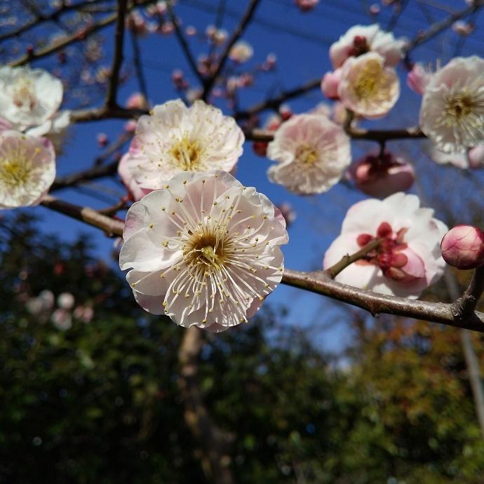 200212梅桜 (2)
