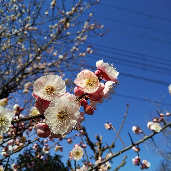 200212梅桜 (3)