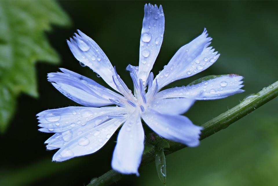 1535 チコリの花 960×645