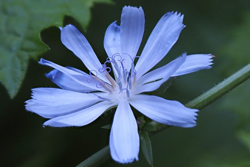 1575 チコリの花 960×645