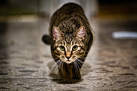 A-tabby-cat-stalking-about-to-pounce