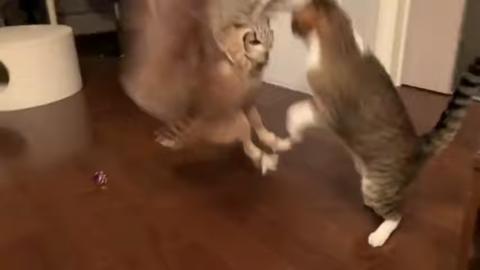 Catandowlplayingfetch7