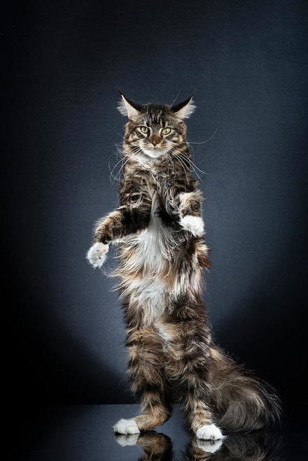 STANDING-CATS-a-photo-series-by-Alexis-Reynaud-5d1c6954def88