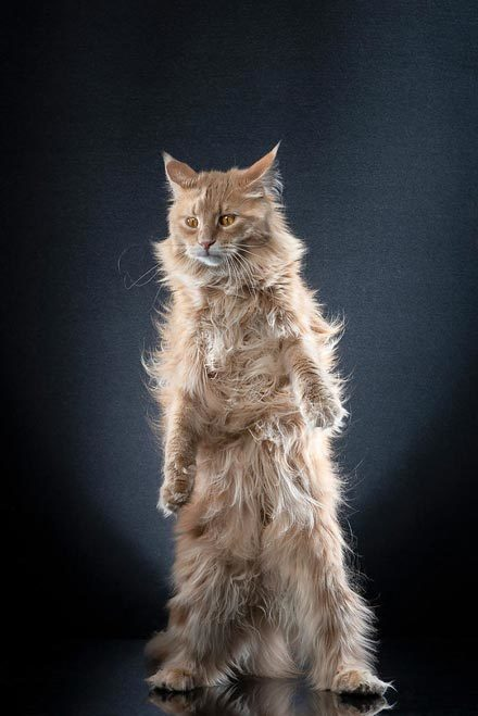 STANDING-CATS-a-photo-series-by-Alexis-Reynaud-5d1c6c591b622