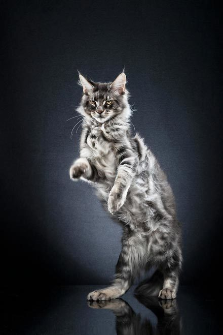 STANDING-CATS-a-photo-series-by-Alexis-Reynaud-5d1c6c90065b5