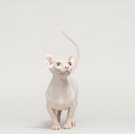 hairless-cat-breeds-dwelf-1567008714