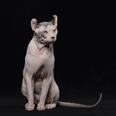 hairless-cat-breeds-elf-1567008669