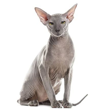hairless-cat-breeds-peterbald-1567008638