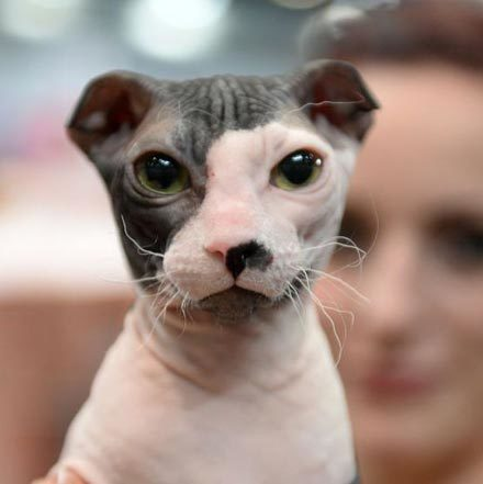 hairless-cat-breeds-ukranian-levkoy-1567008792