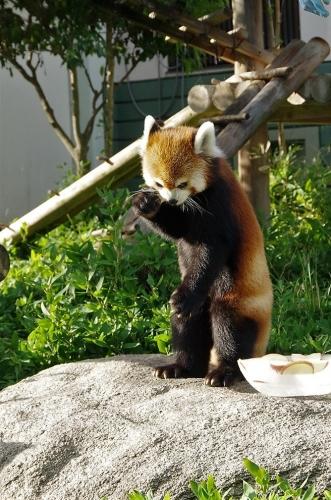 レッサーパンダ 福岡市動物園