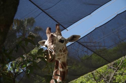#福岡市動物園 キリン リンダ