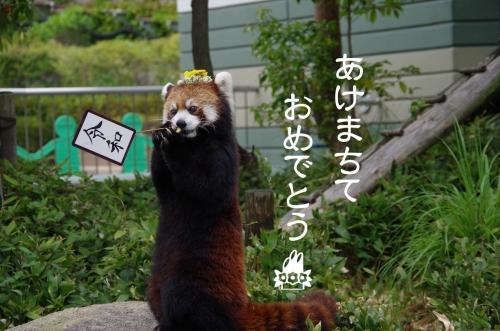 #レッサーパンダ #福岡市動物園 #マリモちゃん #redpanda