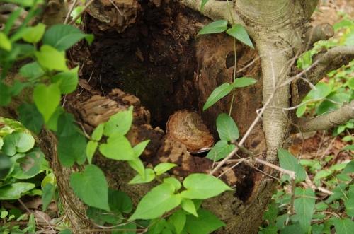 木の切り株の空洞に生えたきのこ