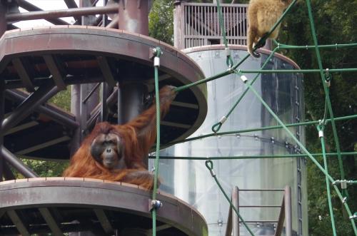 ボルネオオランウータン ミミさん 福岡市 動物園