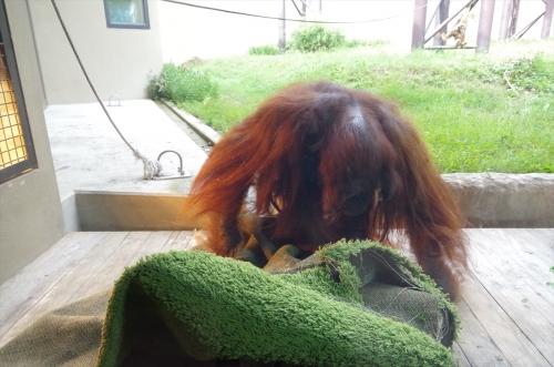 福岡市動物園 ボルネオオランウータン ♂ミミ