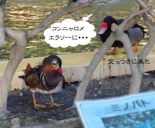 放鳥舎 オシドリ? 福岡市動物園