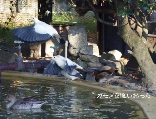 放鳥舎 オシドリ? 福岡市動物園 カモメ