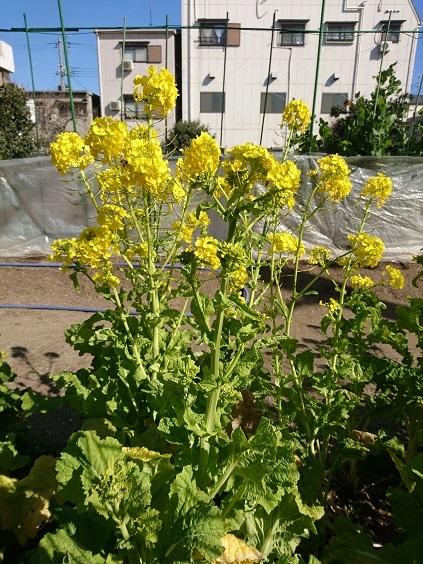 DSC_1933菜の花