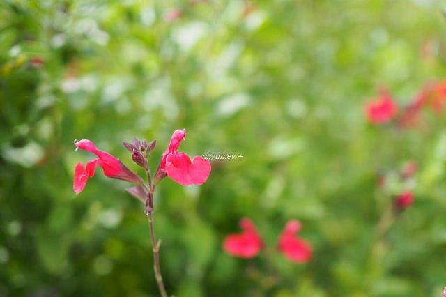 小さいあかい花190616
