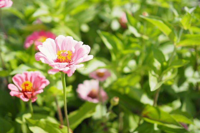 ピンク花190616
