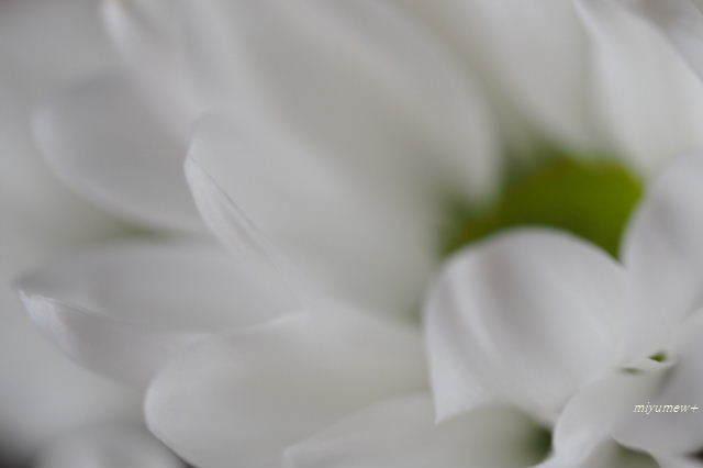 白い小菊190627