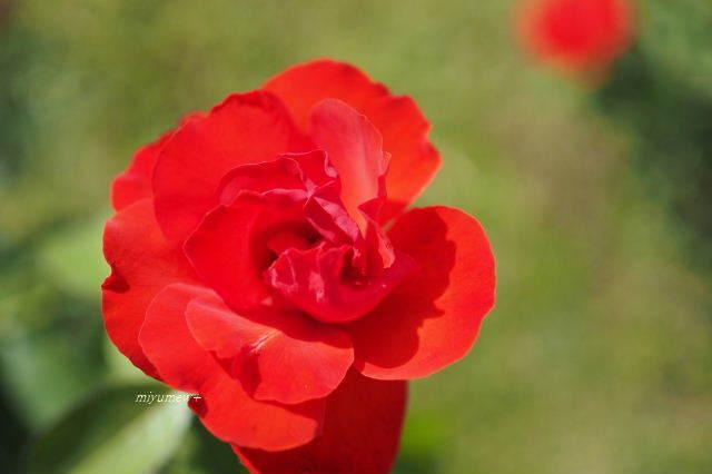 赤いバラ191006