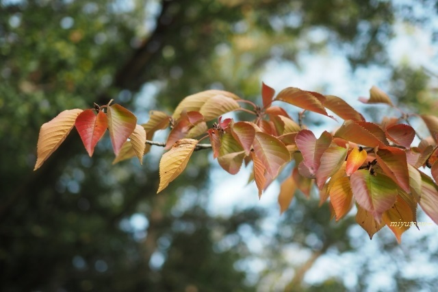 桜紅葉191104