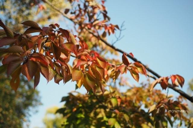 11月桜紅葉191104