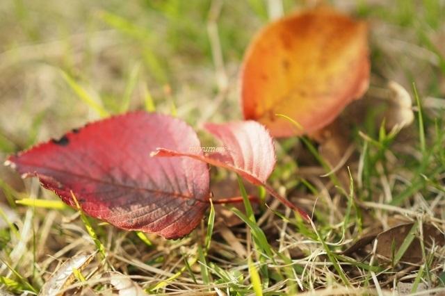 桜落ち葉191104