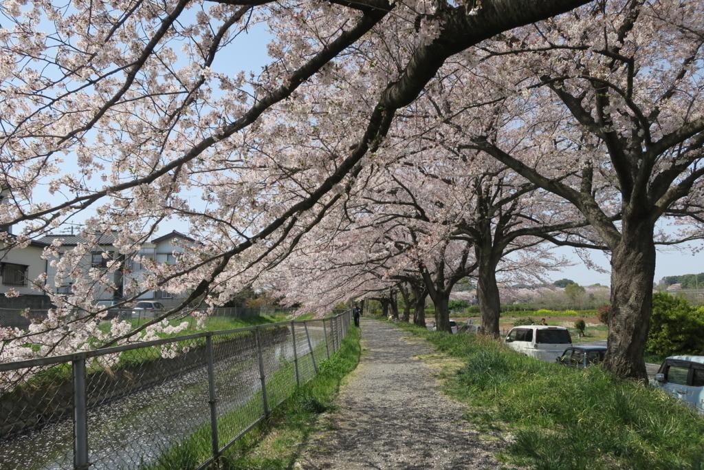 見沼たんぼの桜