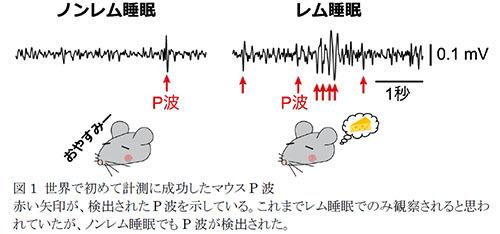 レム睡眠とノンレム睡眠では情報伝達の方向が逆