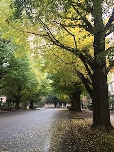 お茶大正門前の銀杏並木