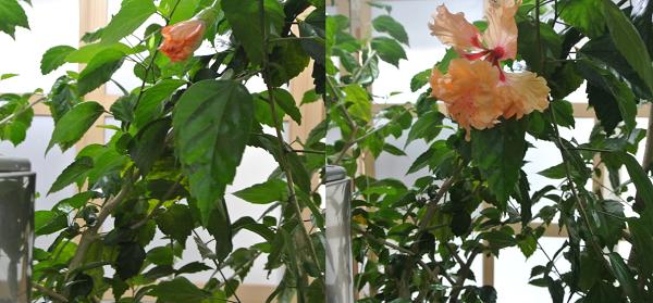 hibiscus-4_2019102716264531c.jpg