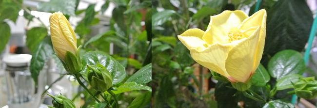 hibiscus-6_20191029153236eb1.jpg