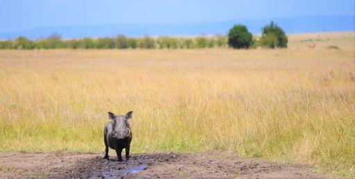 Wild boar687