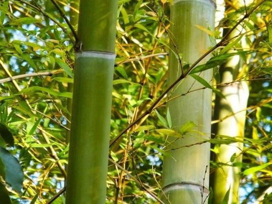 bamboo5463.jpg