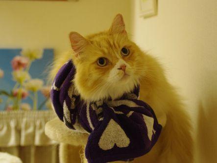 カープ猫⑪