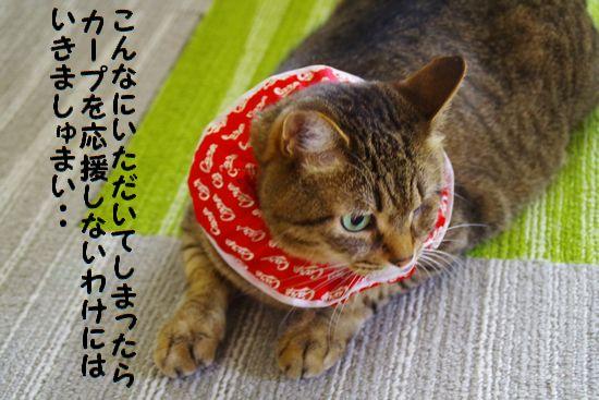 カープ猫⑥
