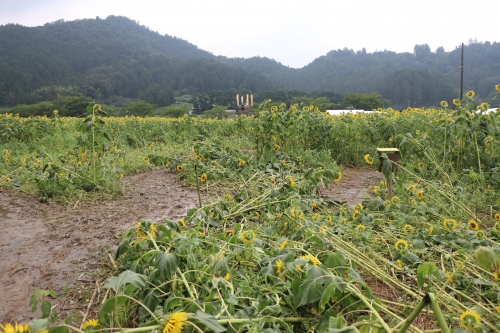 ひまわり柚遊農園